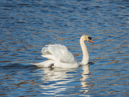 Swan floating on water surface