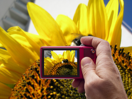 Bumblebee on a sunflower in camera viewfinder Stock Photo