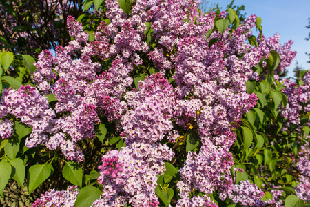Purple lilac bush on spring sunny day
