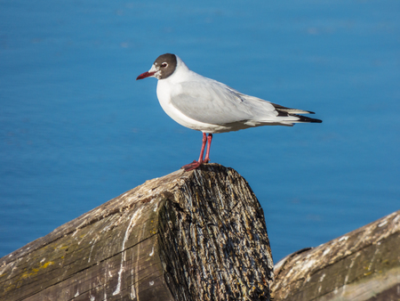 Seagull sitting on log on river Stock Photo