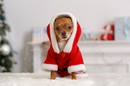 New Year 2019. Decorated room with dog wearing santa costume with sitting on sofa looking camera close-up blurred background Stock Photo