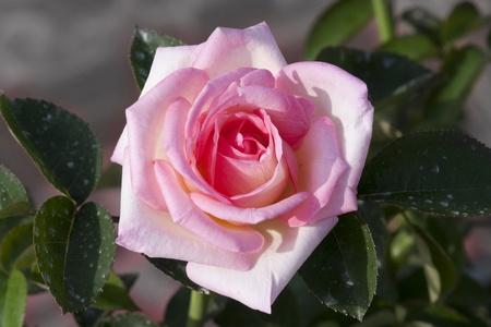 comparable: Pink rose means grace and gentle, a sweet heart to give to each other  Care comparable to the color of the heart is viewed  Stock Photo