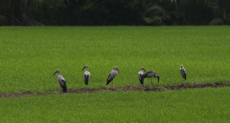 way of living: Birds feeding in rice field  The views that be way of life in Southeast Asia living with environment