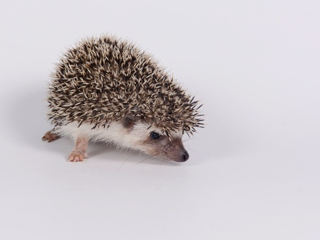 pigmy: A little hedgehog on white background. Stock Photo