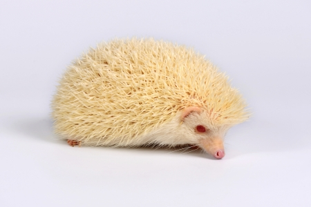 pigmy: A little hedgehog on white background looking on you
