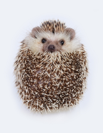 A hedgehog look like a ball on white background
