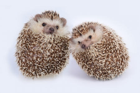 Two hedgehogs make themself like ball on white background