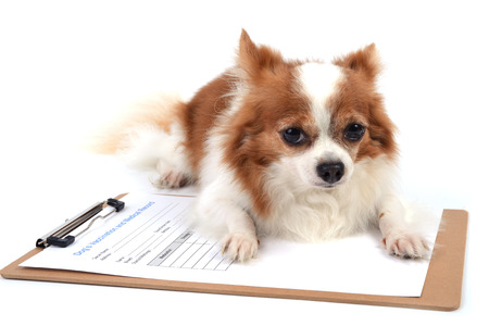 A little chihuahua lying on medical form