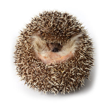 Pygmy hedgehog act like a round ball to the defense from enemies