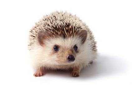 Little hedgehog on white background.