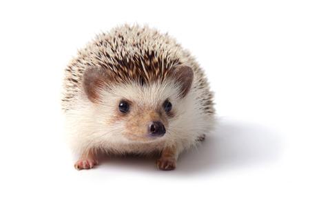 pygmy: Little hedgehog on white background.