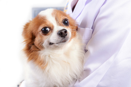 Chihuahua dog waiting for health check by doctor.