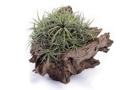 tillandsia: Tillandsia in stump as wooden jardiniere on white background.