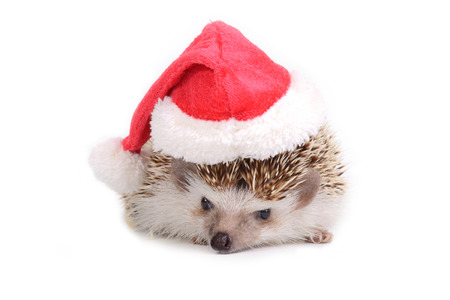 Hedgehog with red santa claus hat on white background. photo