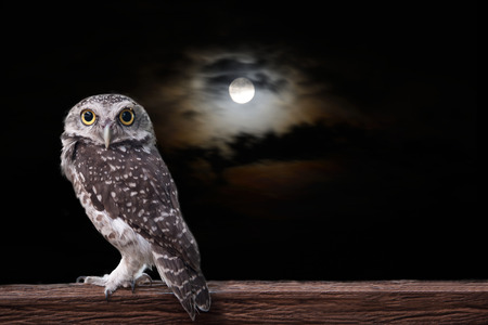 Owl stand on timber in the night under a full moon. Foto de archivo
