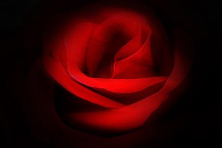 Mystery red rose in dark background.