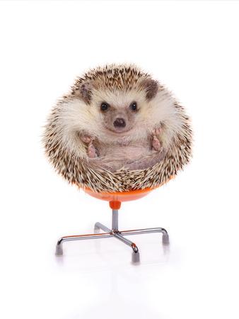 Istrice sveglio seduto sulla sedia come palla su sfondo bianco