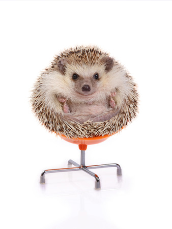 Cute hedgehog sitting on chair like ball on white background Stockfoto