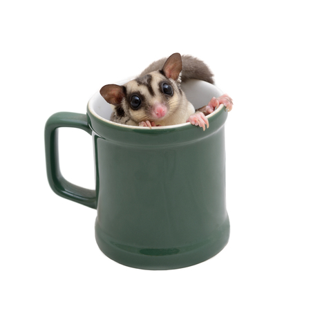 Cute flying squirrel in green coffee mug on white background.