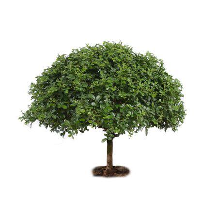 jessamine: Isolate small tree, orange jessamine, on white background.