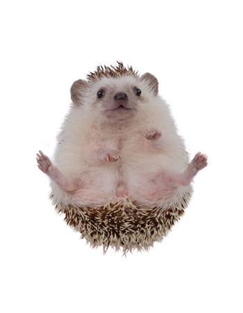 upturned: Small hedgehog upturned on white background.