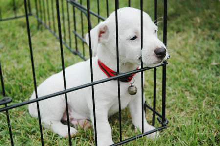 Sad jack russell terrier puppies sitting in cage on the grass. Stock Photo