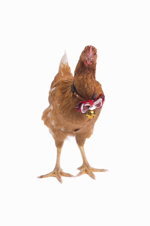 Front view of brown hen standing with red ribbon on neck on white background.
