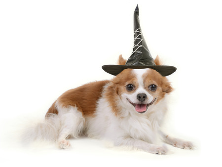 Chihuahua dog lie down and wearing black witch hat on white background.