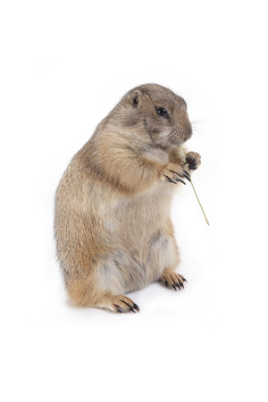 Prairie dog holding grass in hands and enjoy eating on white background. Standard-Bild