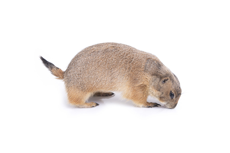 Little prairie dog smelling and finding something on white background. Stock Photo