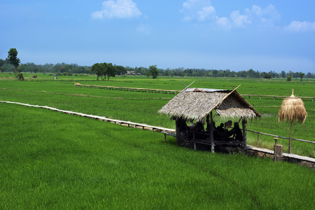 Thatched cottage and wooden path in rice field shown Asian way of life. 스톡 콘텐츠
