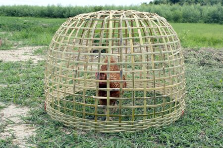 Outdoor photo fo chicken in Thai traditional bamboo cage.