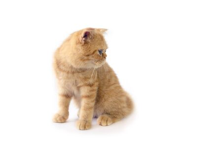 Scottish fold cat sitting and looking at something on white background.