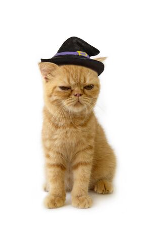 Scottish fold cat wearing witch hat look so crafty sitting on white background.