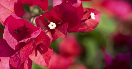 Closeup red bougainvillea for colorful background. 스톡 콘텐츠