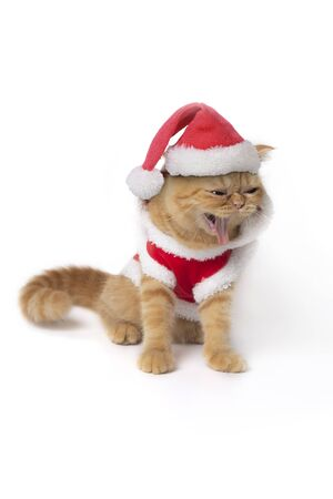Scottish fold cat wearing red santa claus suit sitting and show fangs teeth on white background. 스톡 콘텐츠