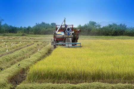 Farmer using tractor to harvest rice crops in the fields.