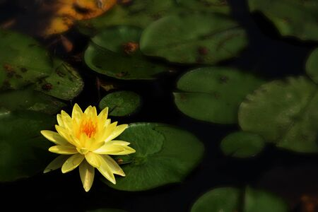 Yellow lotus flower in the corner of the pond with dark green background.