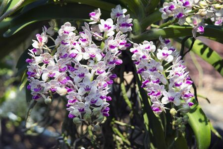 Blooming rhynchostylis gigantea bouquet in nature light. 스톡 콘텐츠