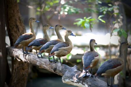 Group of lesser whistling duck standing on timber.