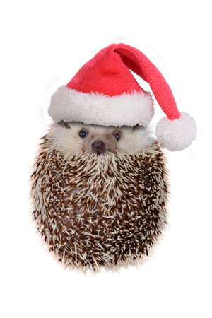 Cute hedgehog wearing red santa claus hat acting look like ball on white background.
