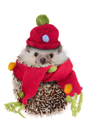 Cute hedgehog wearing red hat and scarf look like snowman on white background.