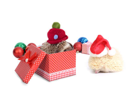 Two hedgehog enjoy christmas and new year together with gift box and christmas decoration on white background. Stock Photo