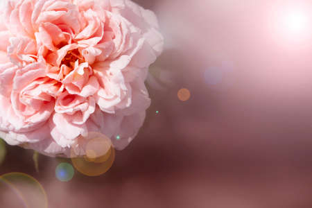 Close-up pink rose mean love for valentine background.