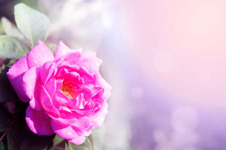 Close-up of beauty pink rose under shining light for lovely background. Stock Photo