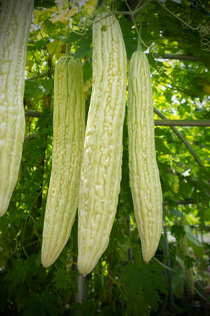Chinese bitter gourd fruit for healthy food ingredients growing on the hold.