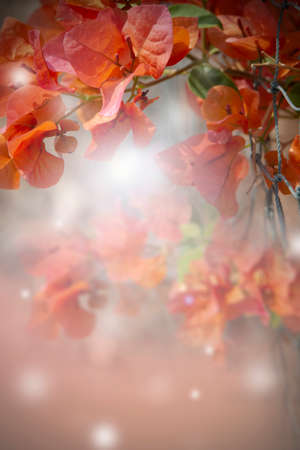 Vertical image of beauty orange bougainvillea with soft dreamy background.