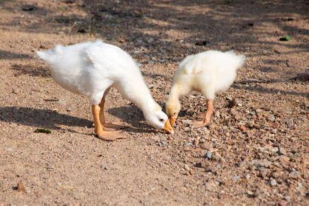 Two little goose feeding itself as naturelife in open farming. Stock Photo