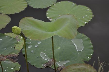 corbel: lotus leaf