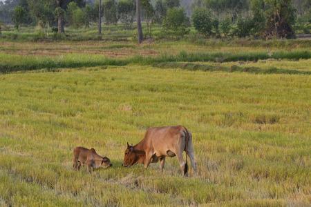 bullock animal: bull  cow Stock Photo